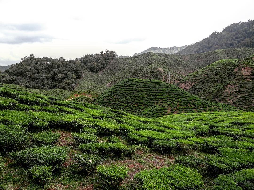 Your favourite green spot.. Tea plantation in Malaysia