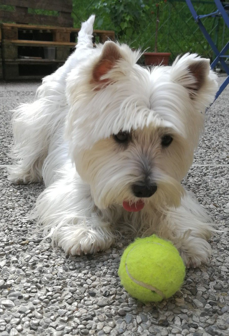 Mini Love The Ball Westie Dogs Westie Puppies Cute Dogs