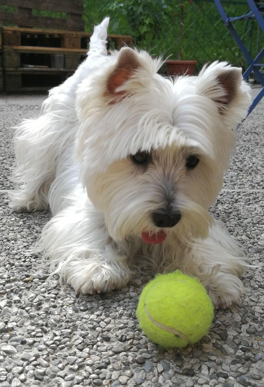 Mini Love The Ball Westie Dogs Westie Puppies Cute Dogs