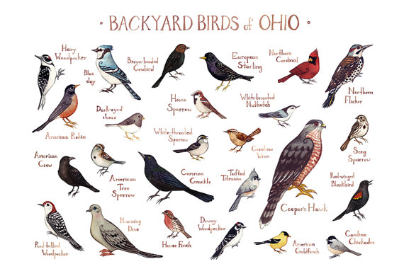 Backyard Birds Of Ohio Field Guide Style By KateDolamore On Etsy