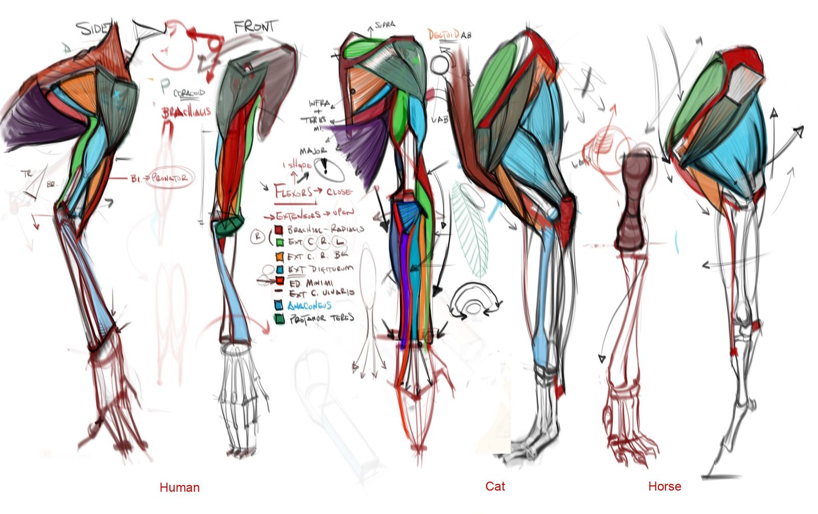 Worksheets Comparative Anatomy Worksheet comparative lecture arms by mhampton michael hampton cghub via anatomy upper torso arm and legs