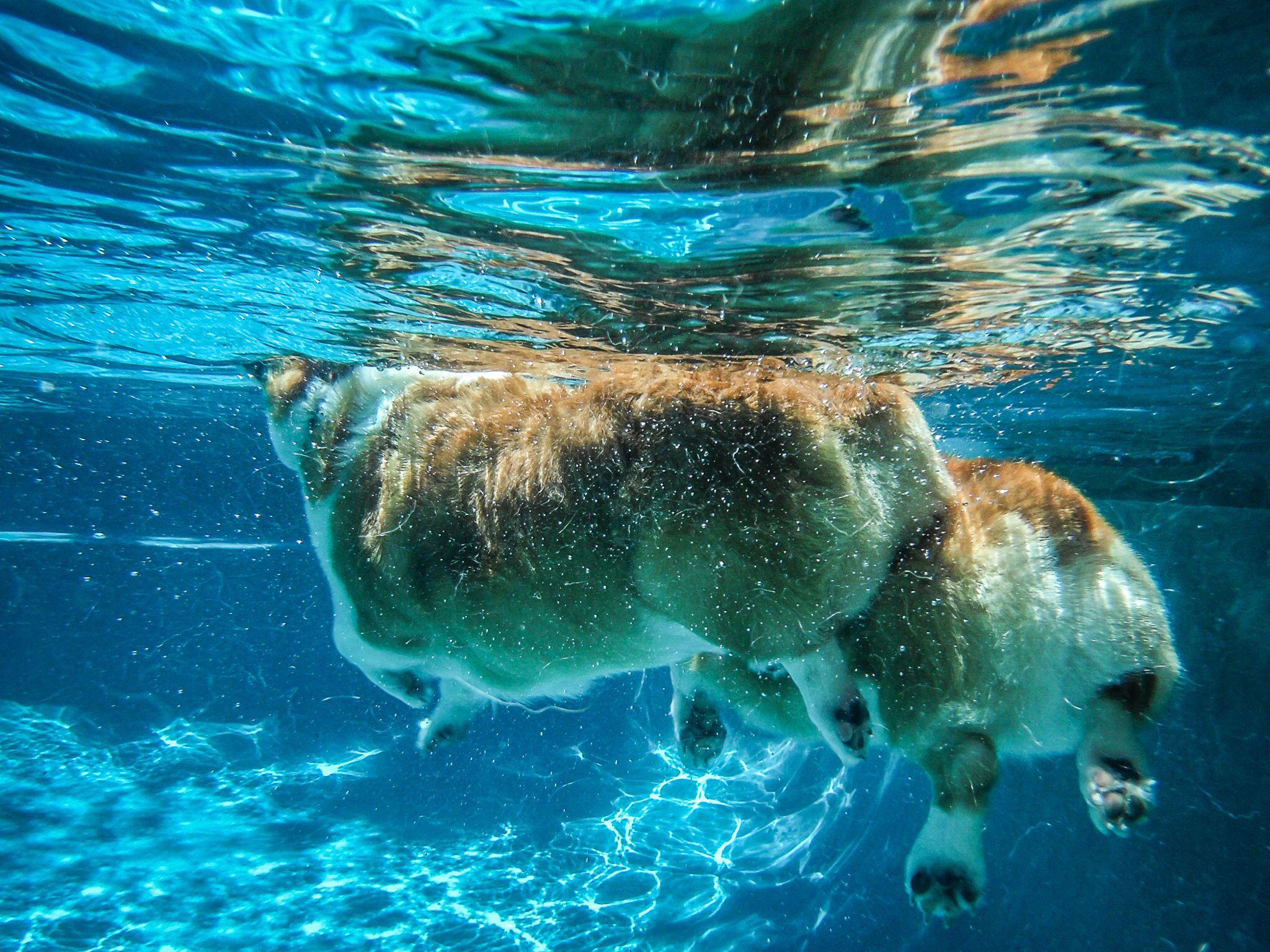 We all live in a corgi submarine seth pinterest corgi dogs