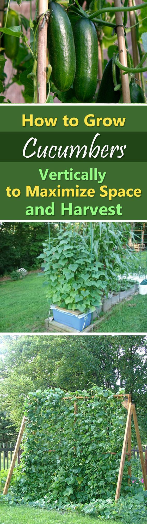 Growing Cucumbers Vertically   How to Grow Cucumbers in Small Garden: