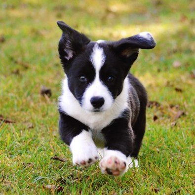 10 Cool Facts About Border Collies Border Collie Puppies Border