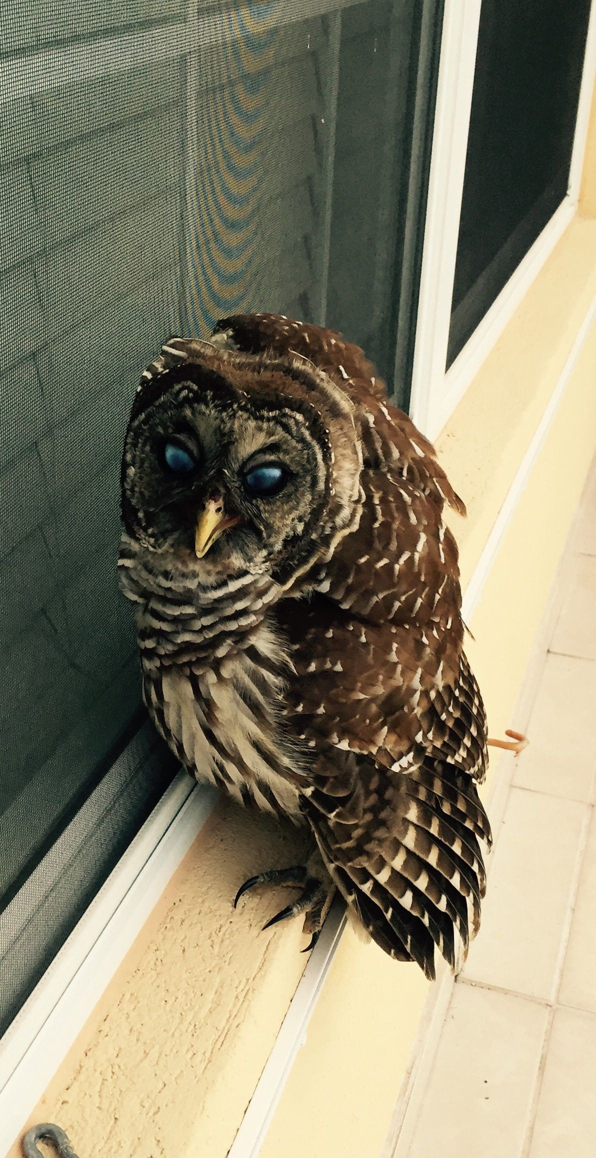 Barred Owl, rescued in Naples, Fl photo by Ellen Gray