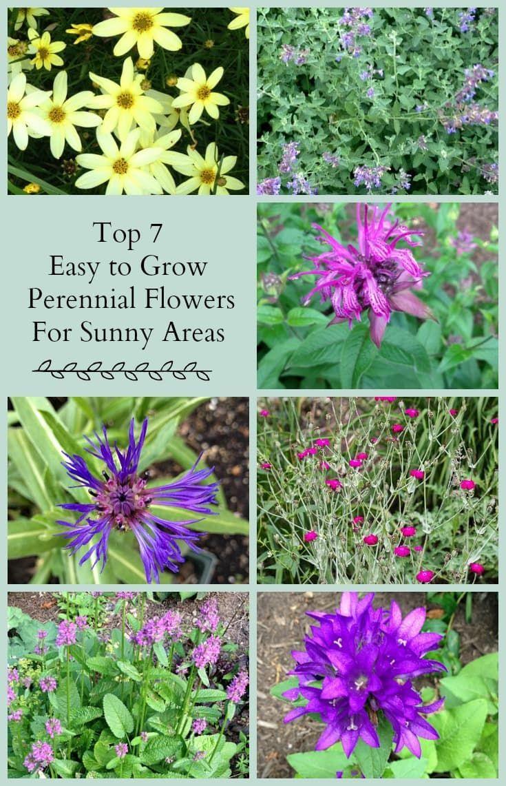 Sun Loving Perennials 7 Top Picks Worth Planting Pinterest