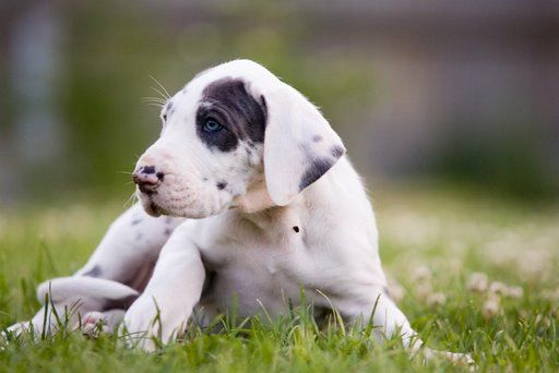 Ugh I Love Great Danes Greatdane Puppy Great Dane Puppy
