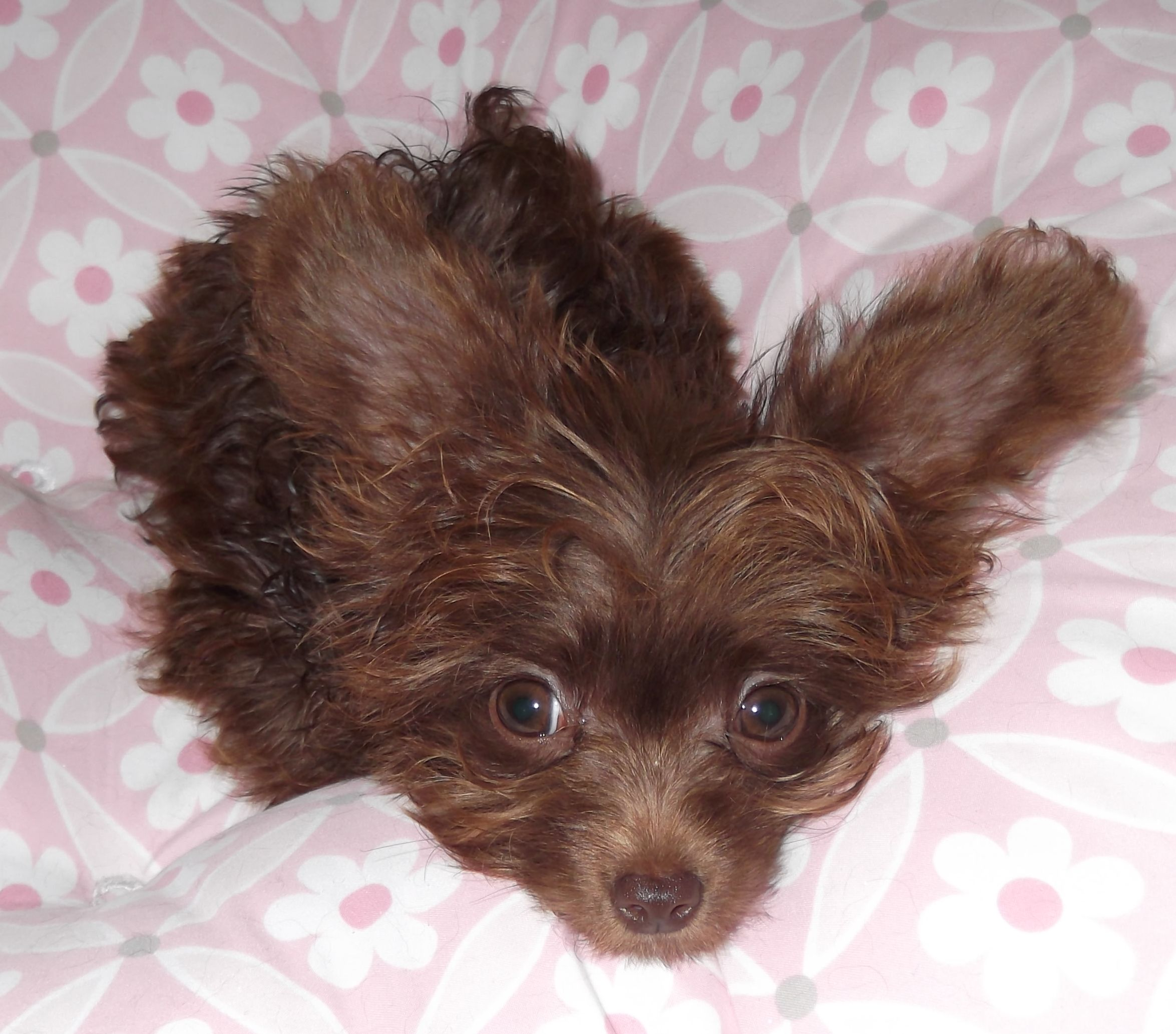 Malaysia My Baby Girl Chihuahua X Teacup Poodle Cute Puppies
