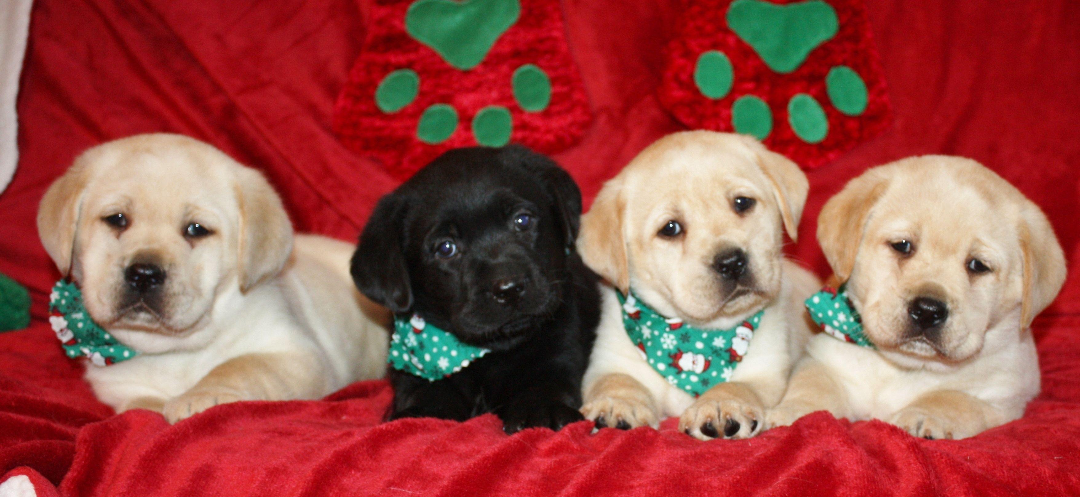 Labrador Retriever Puppies Christmas Labrador Puppies 3512x1615px 232626 Christmas Puppy Puppies Cute White Dogs