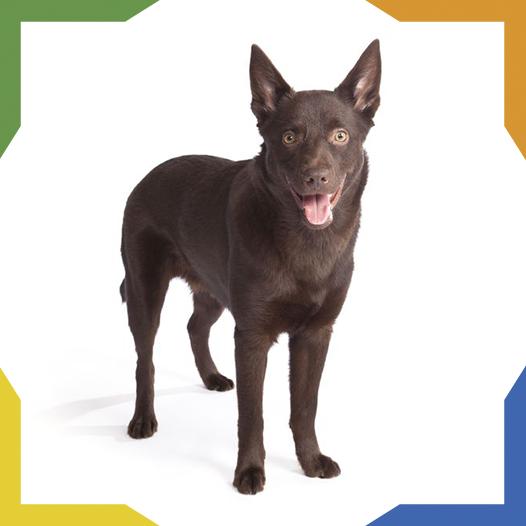 El Kelpie Australiano Es Un Perro De Pastoreo Originario De Australia Es Un Perro De Gran Resiste Razas De Perros Perro De Pastoreo Diferentes Razas De Perros
