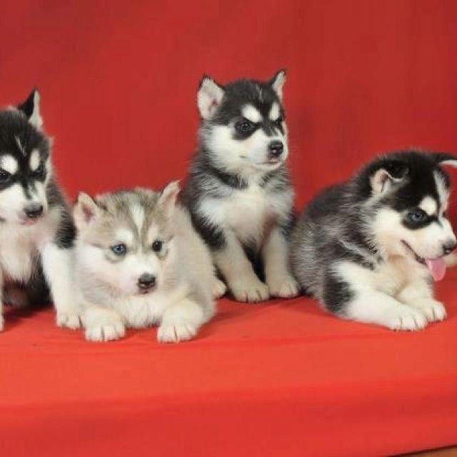 Baby Huskies I Want One So Freakin Bad Husky Puppies For Sale Siberian Husky Puppies Husky Puppy