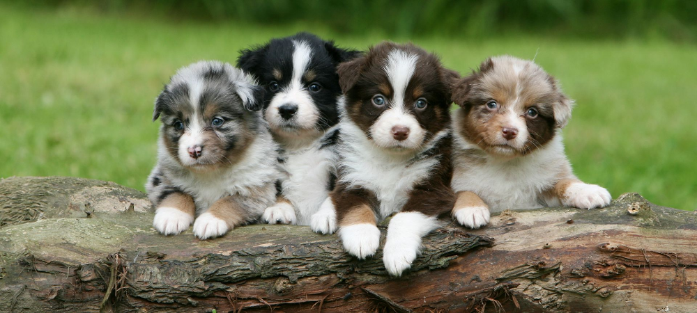 I Will Remember You Puppies Australian Shepherd Puppies