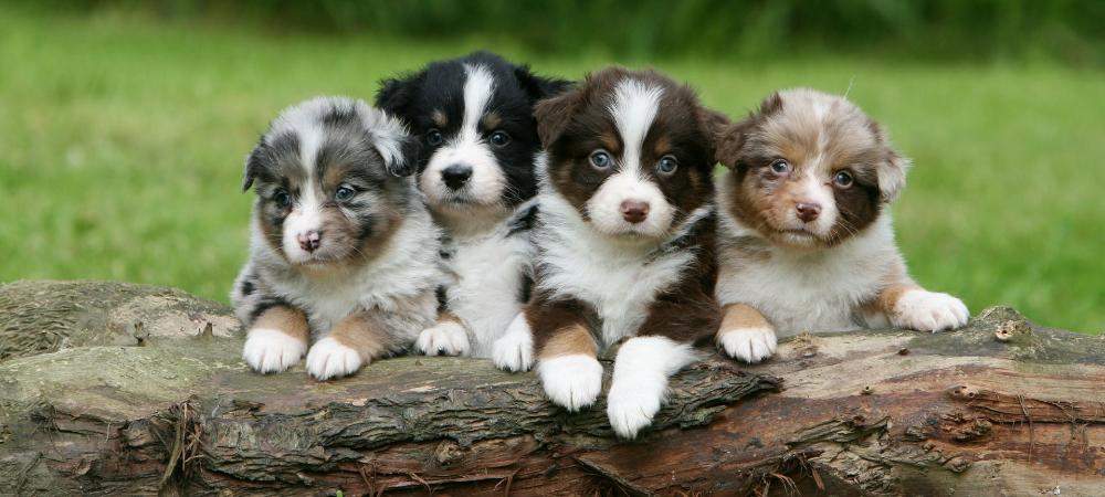 I Will Remember You Puppies Australian Shepherd Puppies