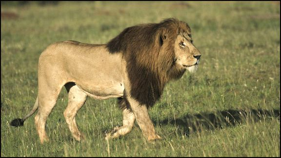 east african lions Though lions used to live in most parts of africa, they are now found only in the  south sahara desert and in parts of southern and eastern africa historically, in.