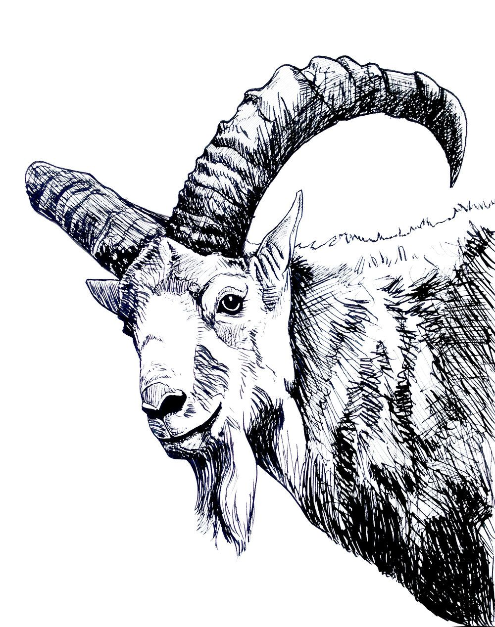 Ibex mountain goat ink drawing by ciara barsotti created