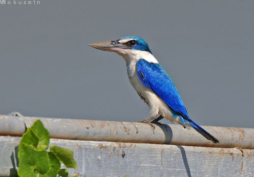 collared kingfisher (halcyon chloris)