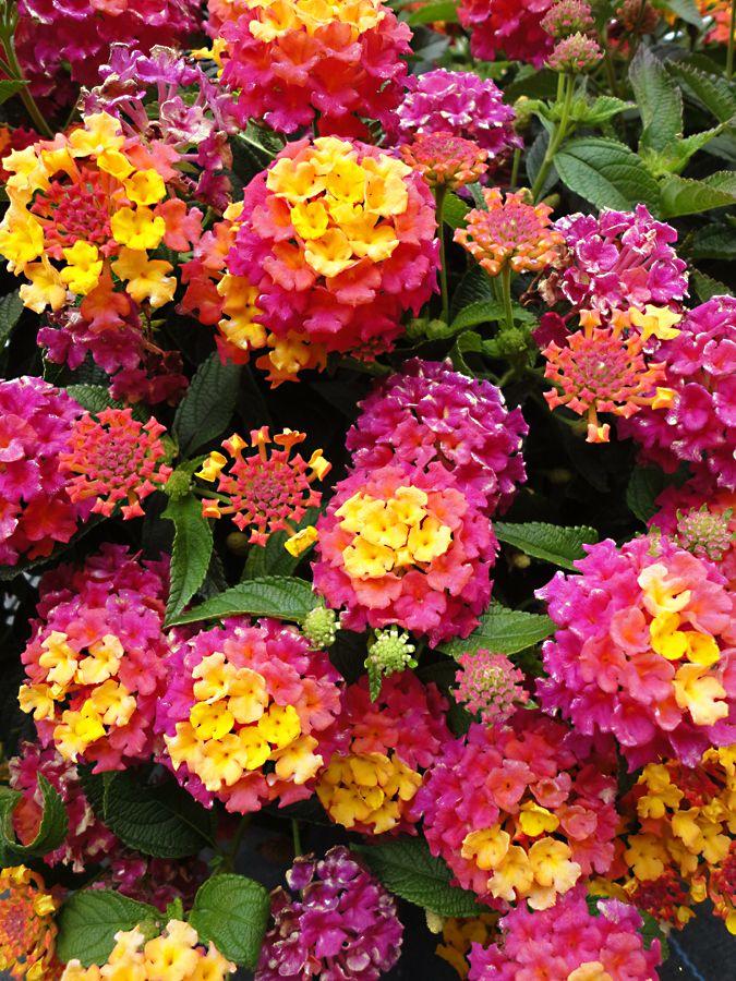 Pin By Robin Evans Studio On Garden Scapes Flower Landscape Colorful Garden Lantana
