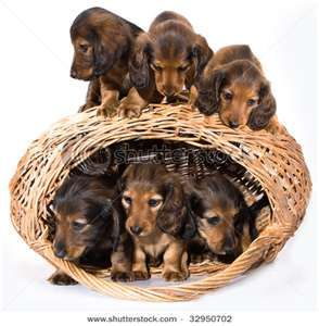 What S Better Than Having A Dachsund Having A Basketful