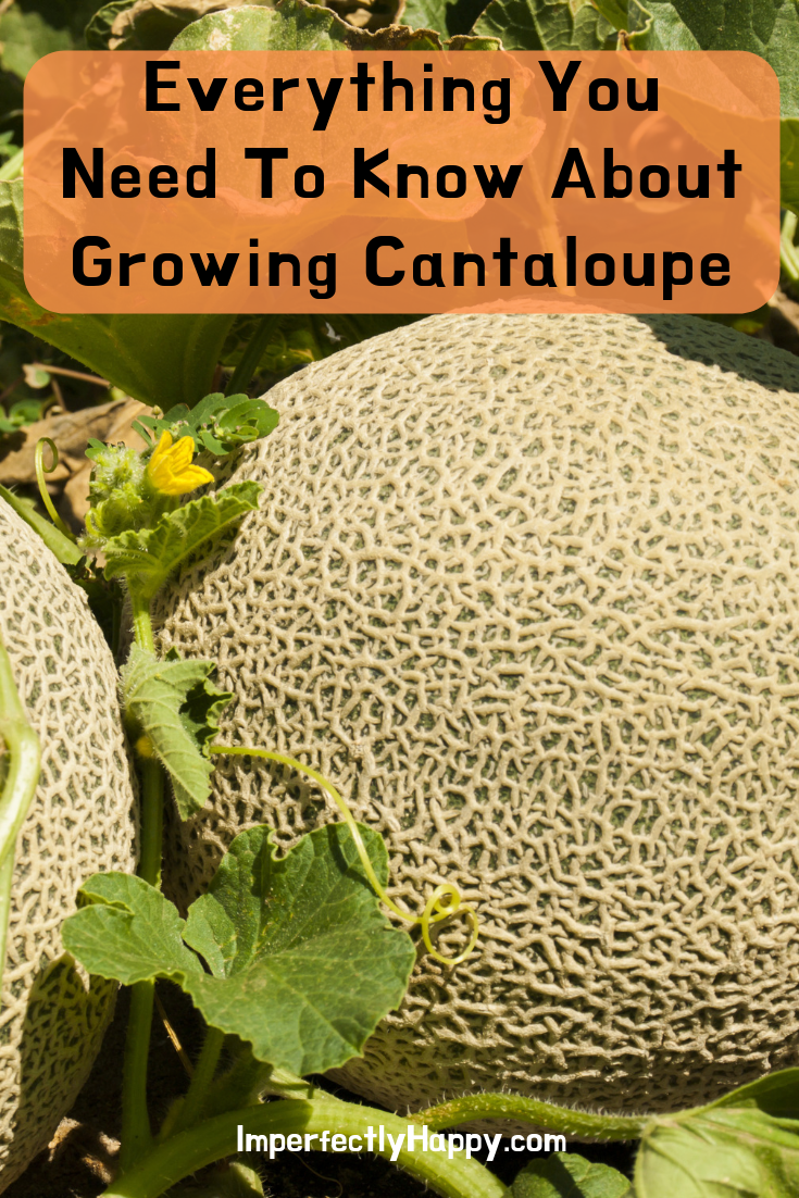 Growing Cantaloupe Everything You Need to Know is part of Growing cantaloupe - Growing cantaloupe everything you need to know from seeds to harvest  Seven tips to get you to sweet cantaloupes  even in containers
