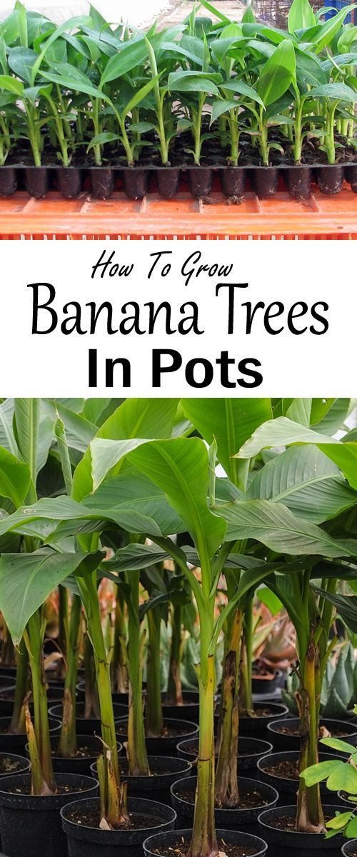 Growing Banana Trees In Pots How To Grow