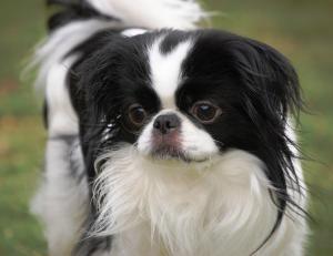 Adopt Sammy On Petfinder Japanese Chin Dog Japanese Chin Pets