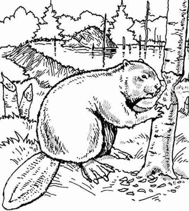 Beaver Google Search Farm Animal Coloring Pages Animal