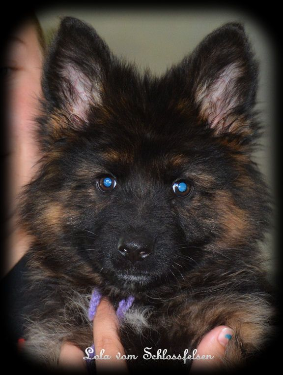 Blue Eyed German Shepherd Puppy Puppies Cute Animals Cute Dogs