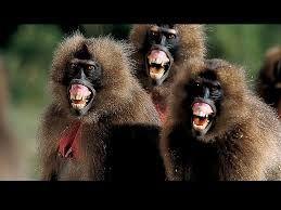 Resultado de imagem para macacos engraçados