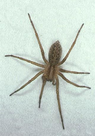 U S Poisonous Spiders Black Widow Brown Recluse Hobo Spider Hobo Spider Wolf Spider
