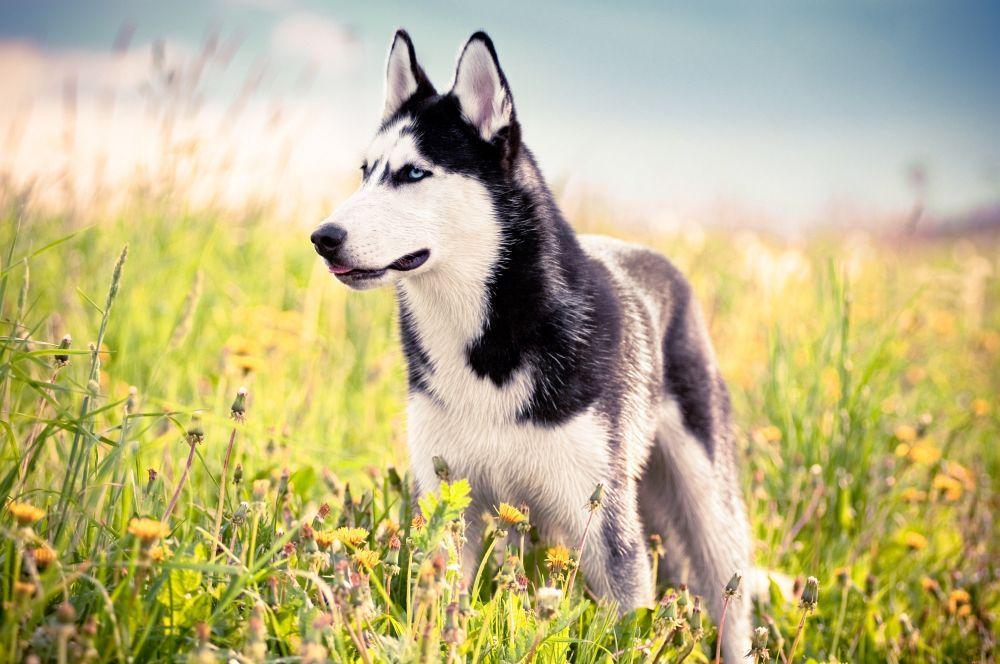 Husky Fotos und Bilder Tolle Huskies auf tollen Fotos