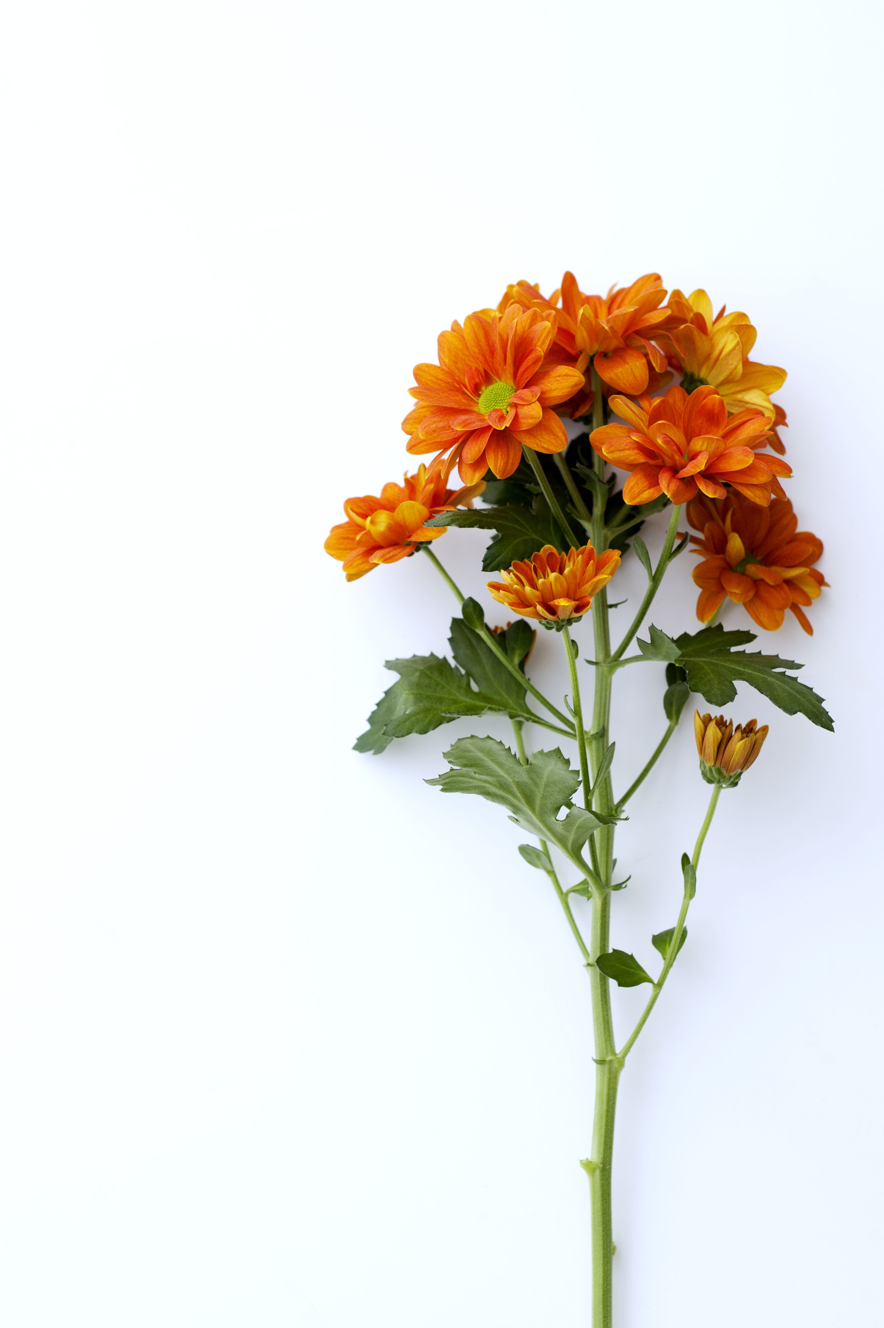 hight resolution of a single stem of the orange chrysanthemum flower