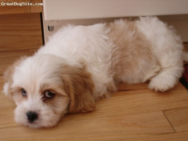 Lhasalier 10 Weeks White With Brown Spots White With Brown Spots Lhasa Apso Mans Best Friend Ragdoll Cat