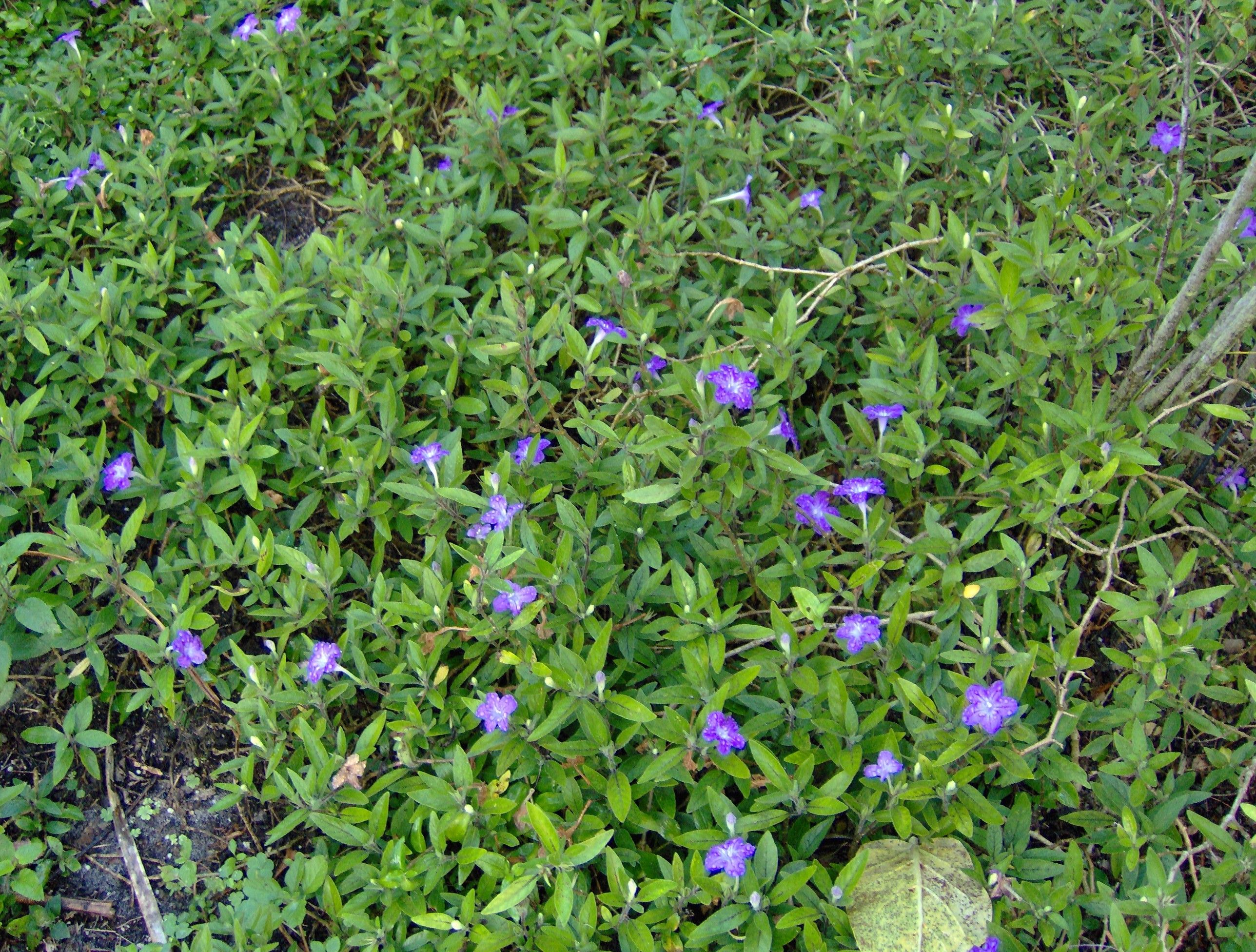 Ruellia Squarrosa Prostrate Petunia Blue Shade Ps