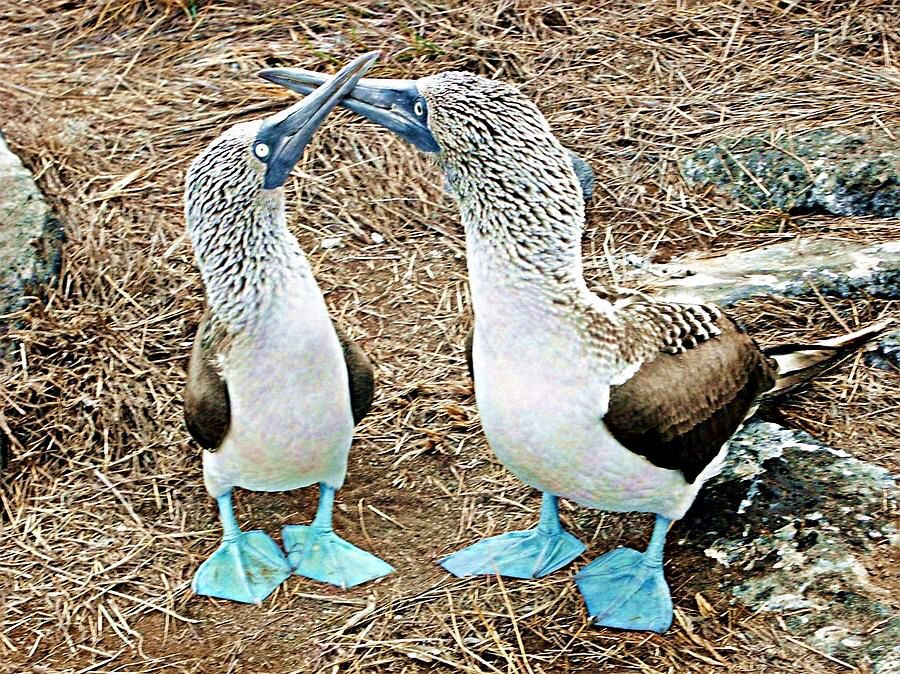 Image from http://images.fineartamerica.com/images-medium-large/galapagos-blue-footed-boobies-dance-david-rich.jpg.