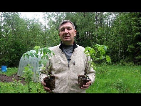 Photo of Посадка рассады томатов в теплицу