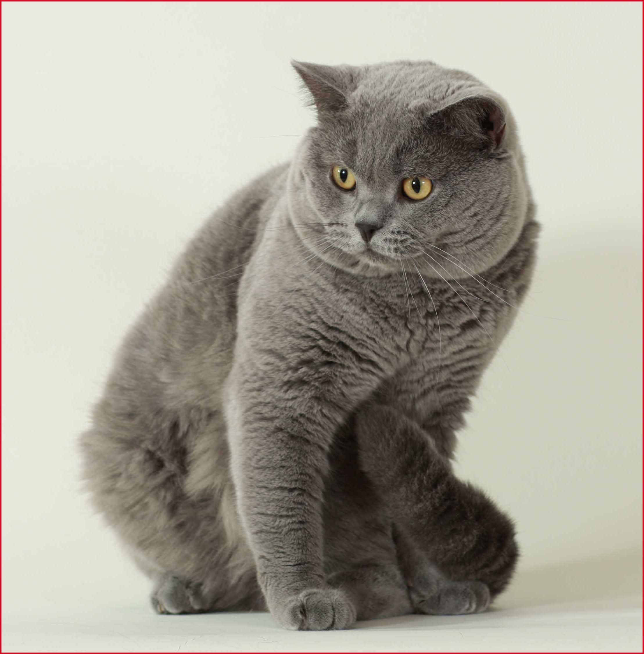 British Shorthair Adult I want mine to have blue eyes D