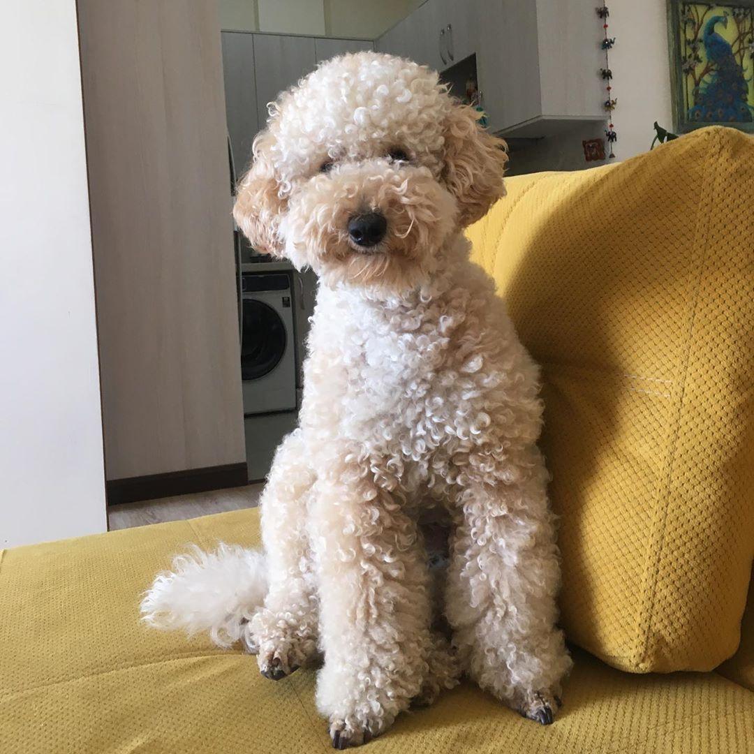 This is a man 🙈 #poodle #poodlesofinstagram  #poodlelove  #poodleinstagram #dog #dogsofinstagram  #puppies  #puppiesofinstagram #dwarf  #dwarfpoodle  #dwarfpoodlesofinstagram  #dearfpoodlelover  #dwarfpoodle🐩