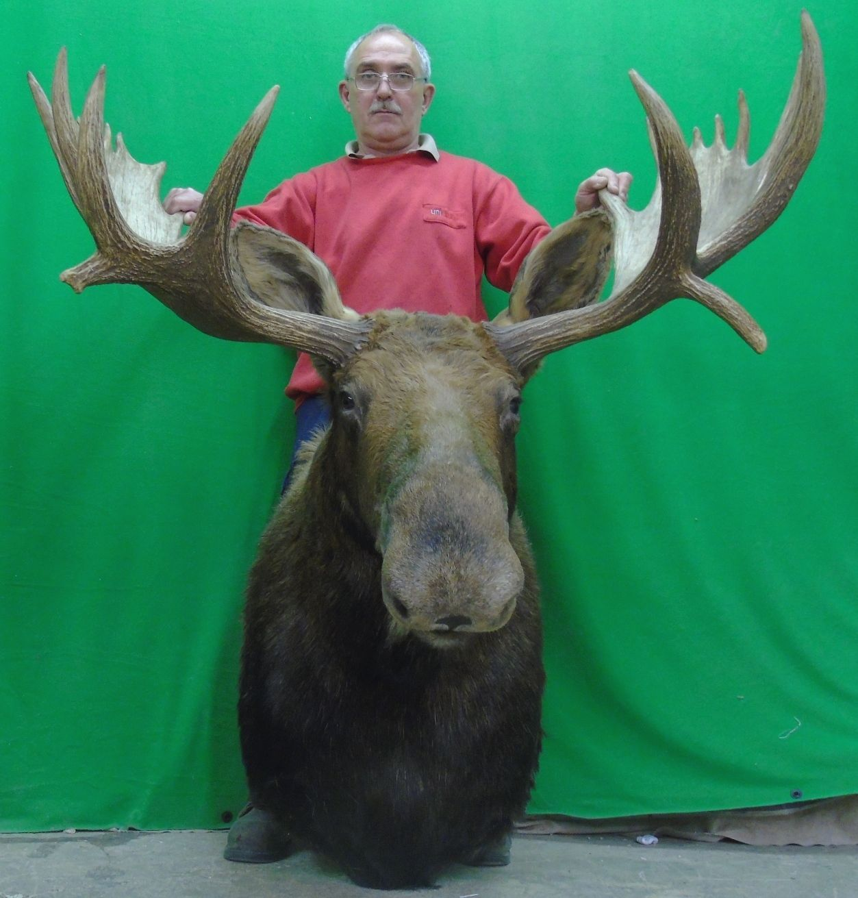 New moose mount taxidermy head large canadian bulls3 deer new moose mount taxidermy head large canadian bulls3 deer antler chandelier arubaitofo Gallery