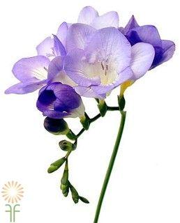 Lavender Freesias Wholesale Flowers Diy Wedding Flowers In 2020 Fresia Flower Freesia Flowers Beautiful Flowers