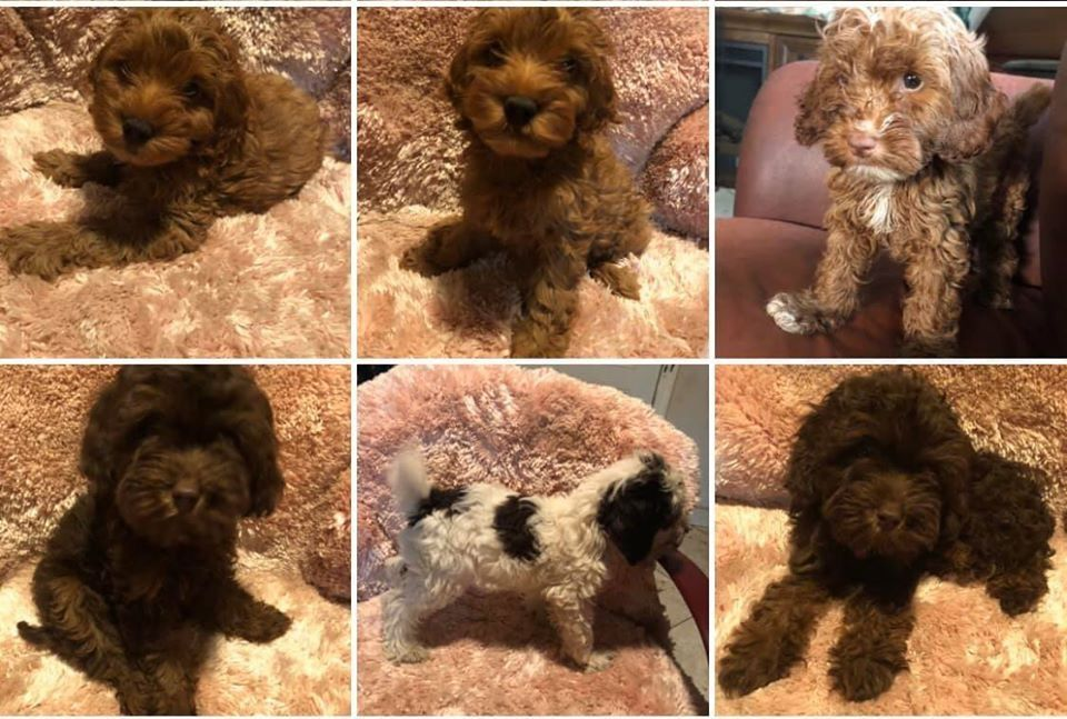 My Little Man Jax Pets Dogs Breeds Poodle Puppy Dog Breed Names