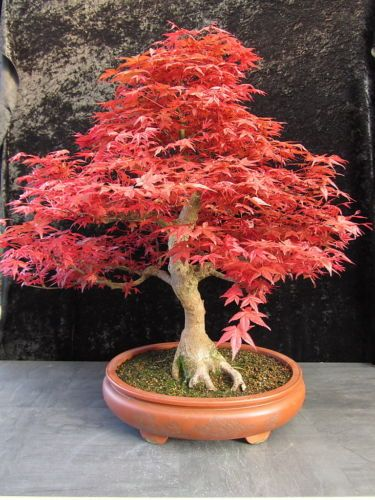 Bonsai Acer Palmatum Deshojo Japanischer Faecherahorn Traum 0012