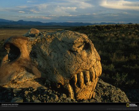 Dinogorgon skull - photography, great, other, head, reptiles, amazing, fossil, animals, dinogorgon, awesome, dinosaur, prehistory, skull, permian, nice, paleontology, dinosaurs, reptile, animal, cool, national geographic, picture, prehistoric