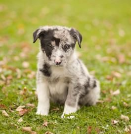 Blue Heeler Mix Puppy For Sale In Pennsylvania Puppies Puppies