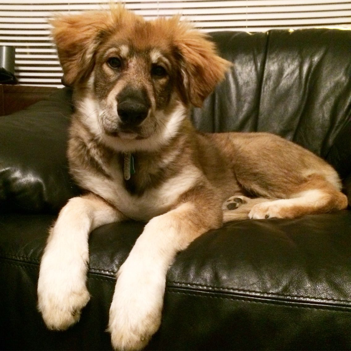 German Shepard And Great Pyrenees Mix Smart Gentle And Fluffy