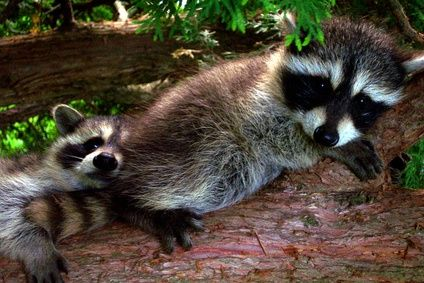 How To Make A House For A Raccoon Pet Raccoon Baby Raccoon Cute Animals