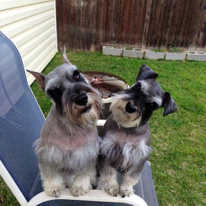 Pin By Purple Martin Creations On Snips And Snails And Puppy Dog Tales Schnauzer Dogs Schnauzer Puppy Schnauzer
