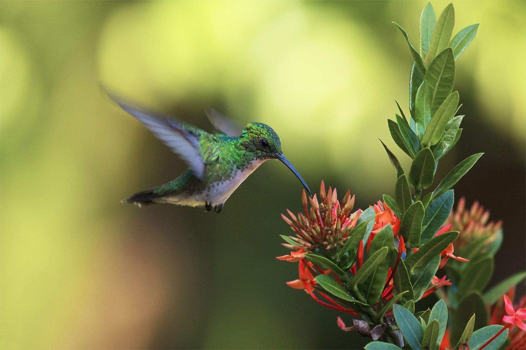 Animaux Colibri Humming Bird Floraison Fleur Oiseau Fond D