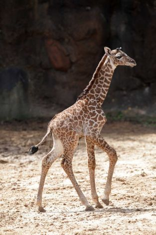Meet Houston Zoo S New Babies Houston Zoo Weekend Is Over Masai Giraffe