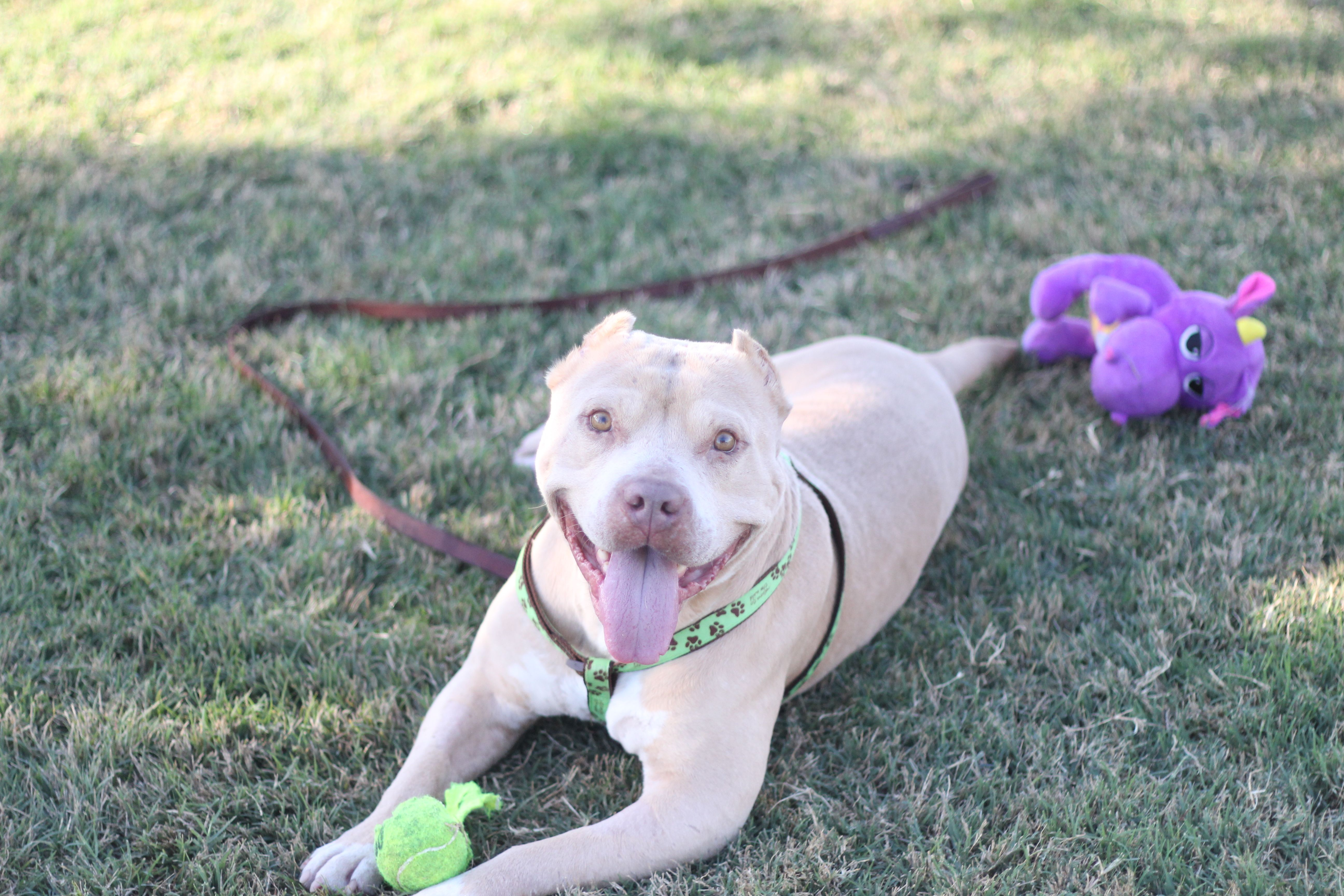 American staffordshire terrier dog for adoption in fresno