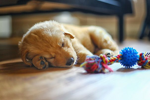 142 Puppies That Can Sleep Anywhere And Anytime Sleeping Puppies